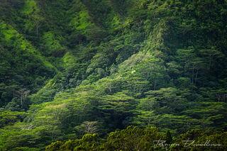 A hillside full of Acacia Koa in Lyon Arboretum in Hawaii.