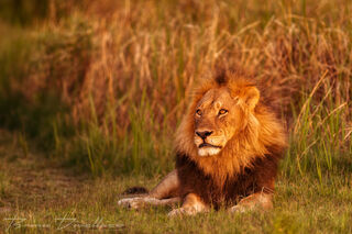 A large male lion resting in the grass in the glow of the setting sun.
