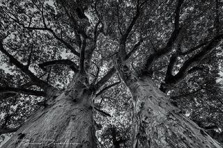 View up into Baobab tree branches at Nxai Pan National Park in Botswana in blue tone.