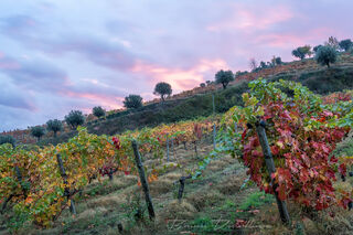 Dawn over autumn vines on the grounds of Six Senses in Douro Valley, Portugal.