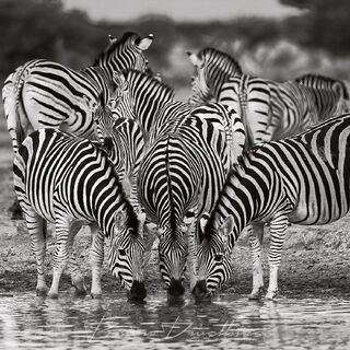 A group of zebra drinking at the water hole.