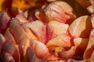 Close-up of dew on peach-colored flower petals at Powell Gardens in Missouri.