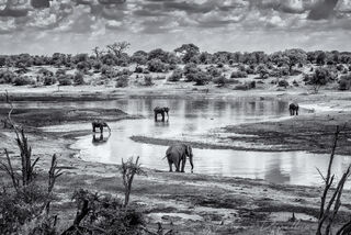 Elephants cooling off in the waters of the Boteti River in Mgkadigkadi National Park, Botswana