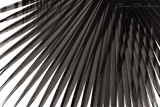 Abstract close-up of fanned out palm frond in black and white.