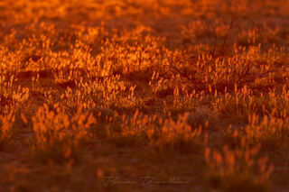 Early morning light strikes the grass and turns it into a fiery red carpet.