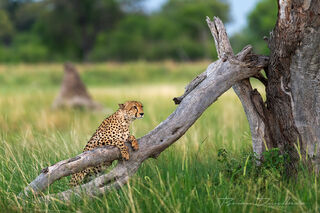 A male cheetah enjoys a moment of relaxation scanning the savannah for his next meal or any sign of danger.