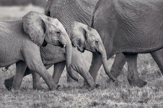 A herding group of elephants with adult females and two baby elephants.