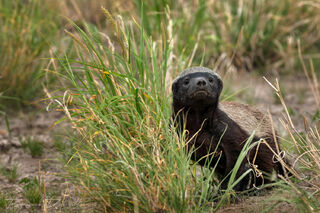 A honey badger giving us a stare down.