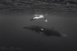 Humpback whale swims below baby humpback under the surface in Vava'u, Tonga in black and white.