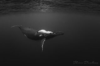 Humpback whale and baby swim below the surface in Vava'u, Tonga in black and white.