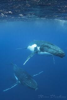 Two humpback whales swim toward camera below the surface in Vava'u, Tonga.