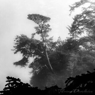 A tree shrouded by mist in Oregon in black and white.