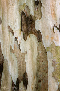 Uniquely multicolored and patterned bark in Lyon Arboretum in Hawaii.