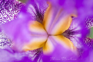 Close-up of opening yellow central petals in a purple flower at Powell Gardens in Missouri.