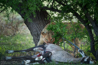 A lioness warily eyes us while protecting its recent oryx kill.
