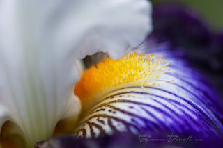 Close-up of yellow pistils in a purple and white flower at Powell Gardens in Missouri.