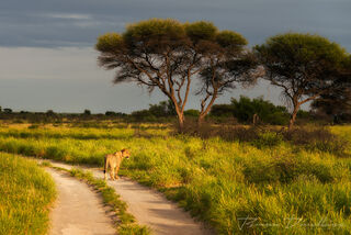 A lioness stops to scan the horizon.