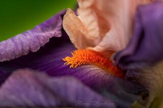 Close-up of orange pistils in a purple flower at Powell Gardens in Missouri.