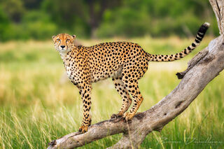A young male cheetah perched on a tree trunk surrounded by the savannah of Moremi Game Reserve in Botswana.