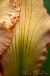 Close-up of peach iris petals at Powell Gardens in Missouri.