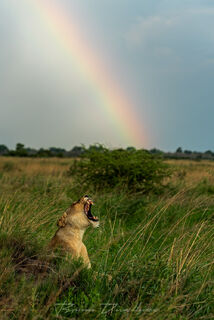A lioness sounds a healthy roar with brilliant rainbow in the distance.