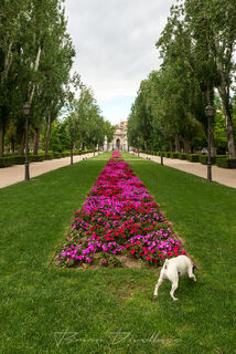 Dog sniffs along path of pink flowers in Retiro Park in Madrid, Spain.