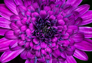 Close-up of petals in purple flower at Powell Gardens in Missouri.