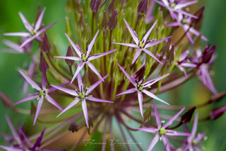 Close-up of purple star-shaped flowers at Powell Gardens in Missouri.