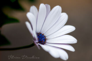 Close-up of white flower with blue pistils at Powell Gardens in Missouri.