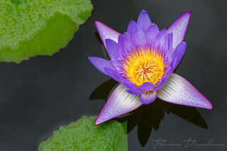 A vibrant purple water lily blossom above the surface of the water and green lily pads in the Dole Plantation Gardens in Hawaii.