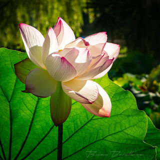 A water lily blooming against green leaf in the Royal Botanic Gardens in Sydney, Australia.