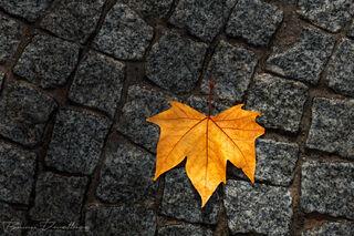 Yellow leaf on black cobblestones at Quinta Da Pacheca in Lamego, Portugal.