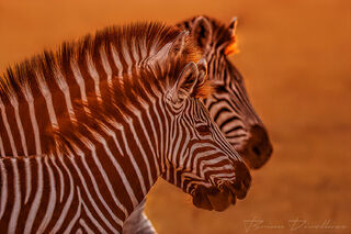 The glow of the setting sun illuminating the manes of zebra on their migration through Nxai Pan National Park, Botswana.