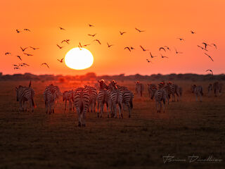 A dazzle of zebra walk east to the bore hole for a morning drink while the African sun rises to greet them.