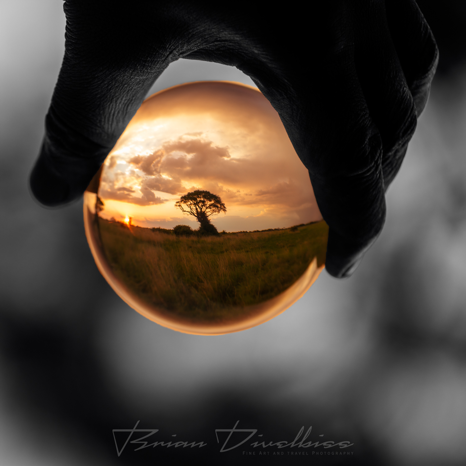 Lensball image of an Acacia tree silhouetted against the setting sun seen through a glass sphere.