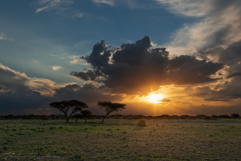 Acacia trees at sunset in Central Kalahari Game Reserve.