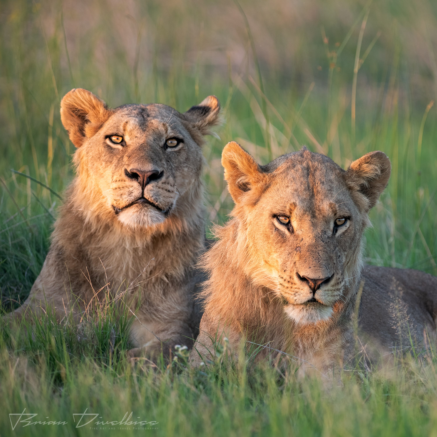 Two male subadult lions resting in the grass in the glow of the setting sun