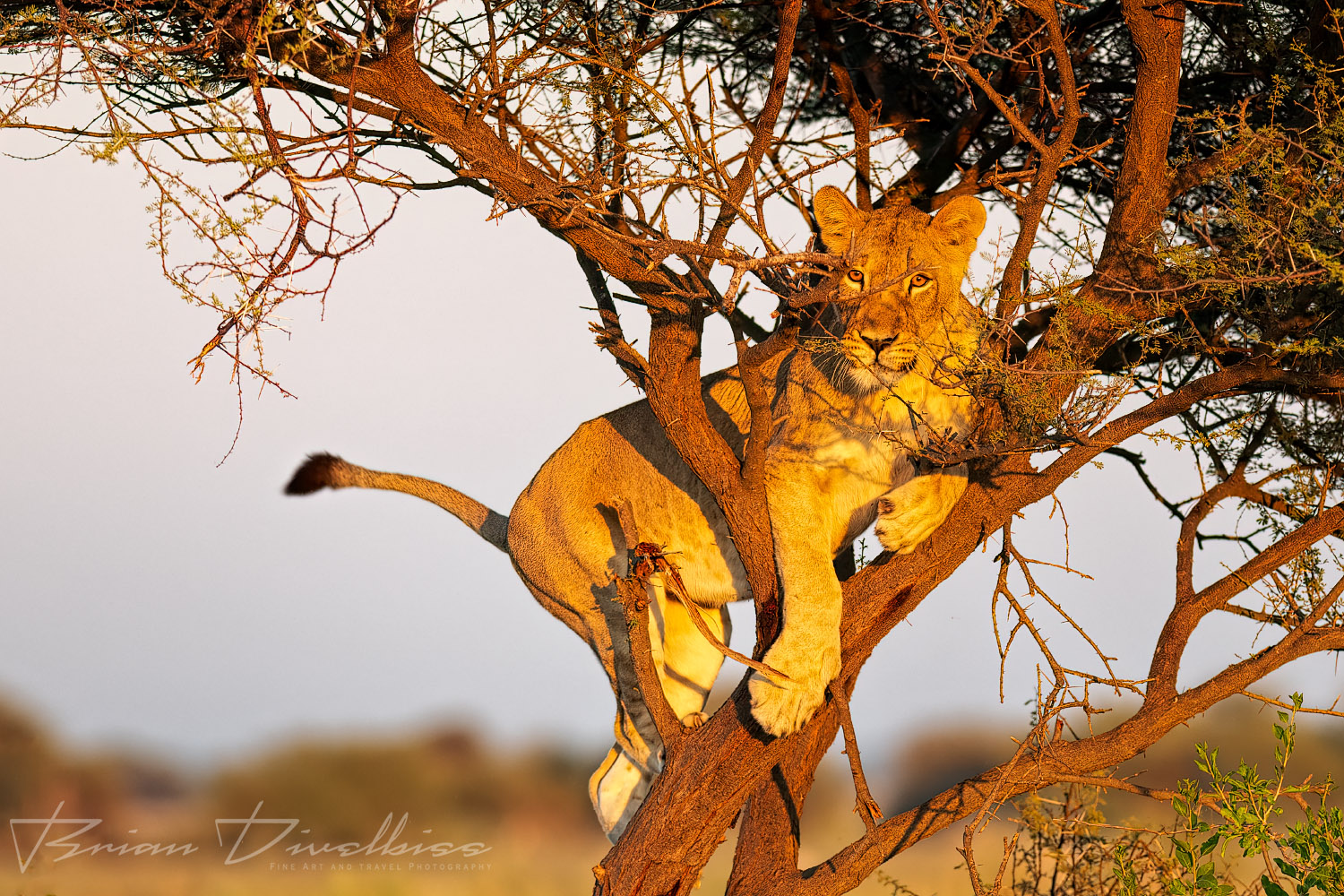 Subadult lioness climbing in a tree.