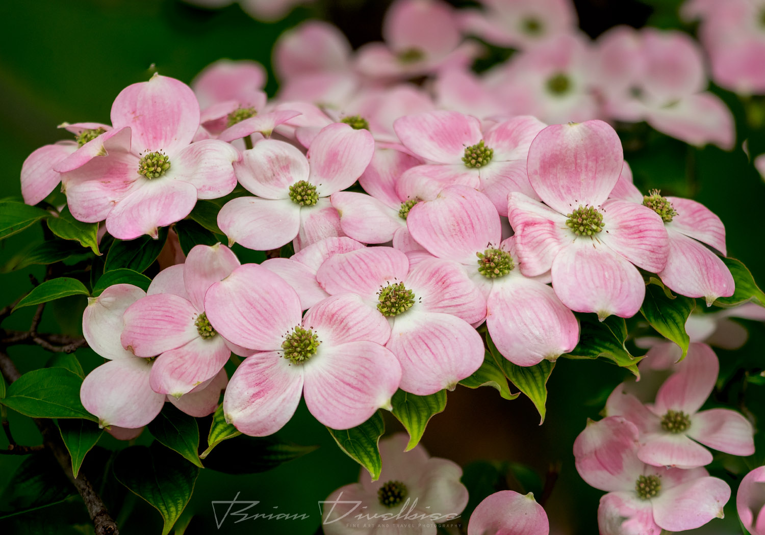 Close-up of tightly clustered pink flowers at Powell Gardens in Missouri.