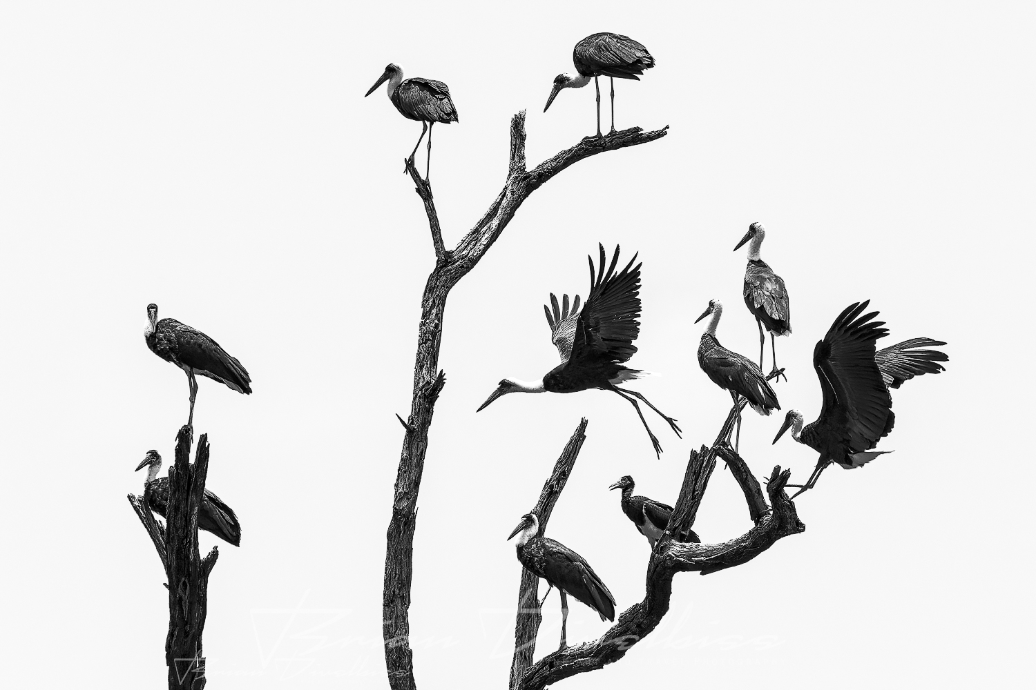 A collection of african cranes in various poses.