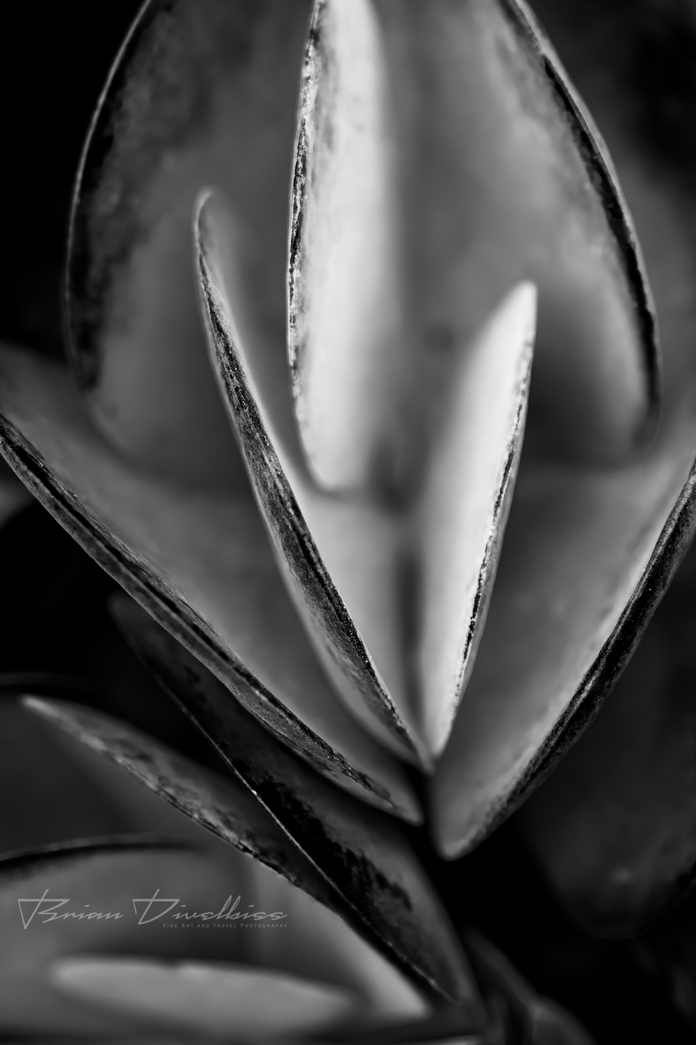 Close-up of succulent at Powell Gardens in Missouri in black and white.