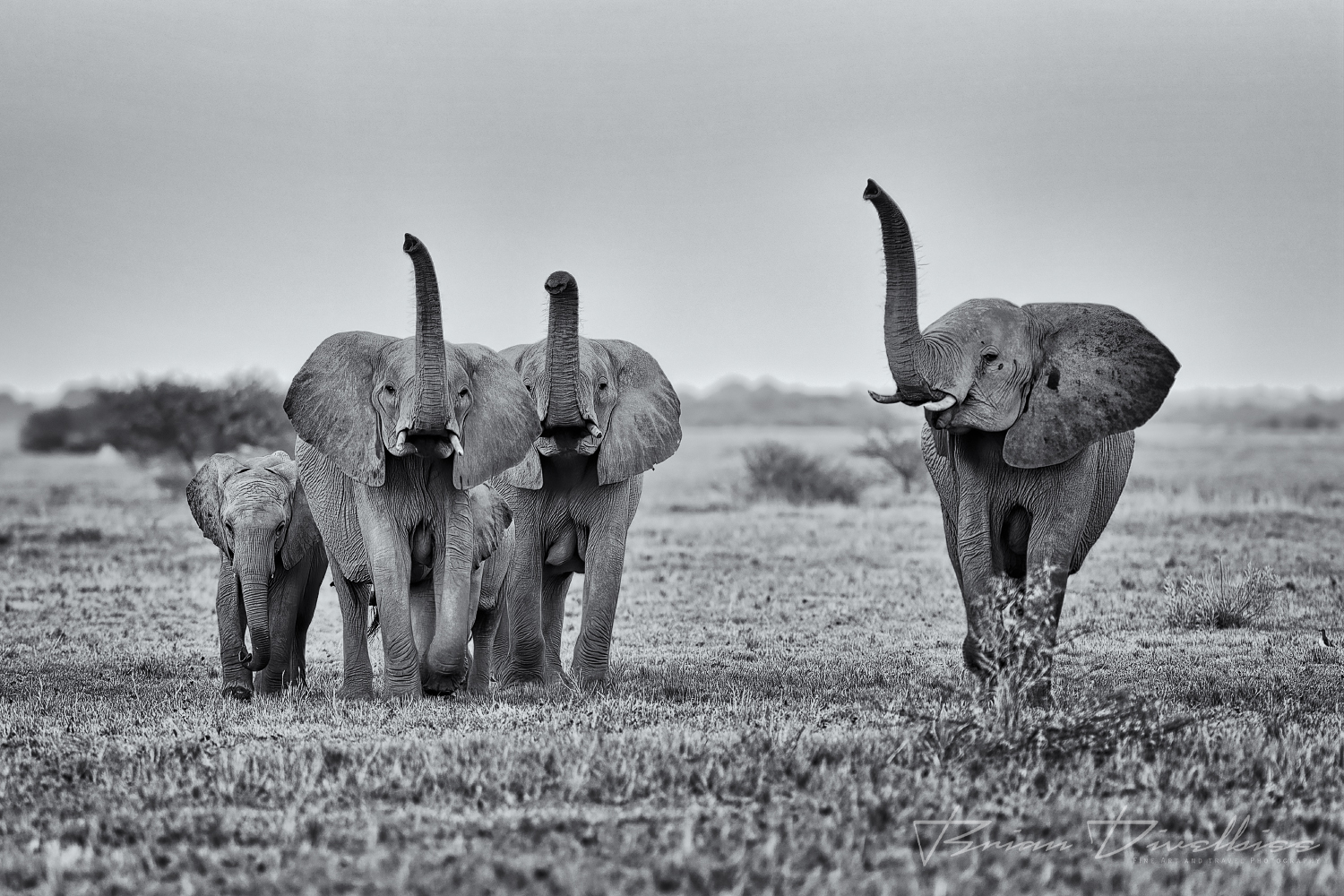 A herding group of elephants walking and bugling.
