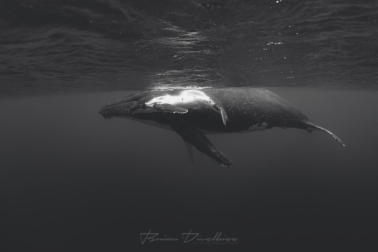 Baby humpback swims alongside humpback whale under the surface in Vava'u, Tonga in black and white.