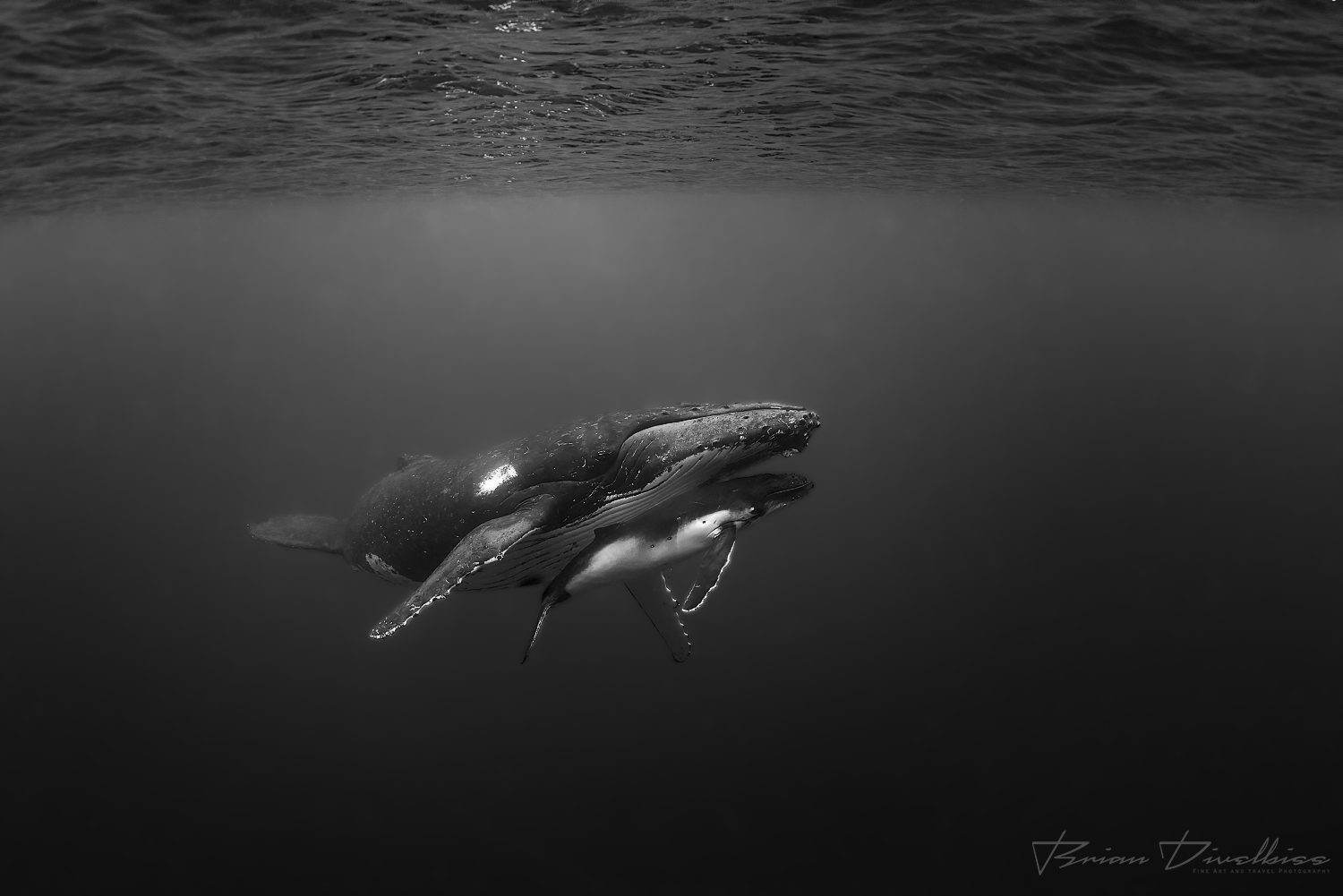 Baby humpback swims below humpback whale under the surface in Vava'u, Tonga in black and white.