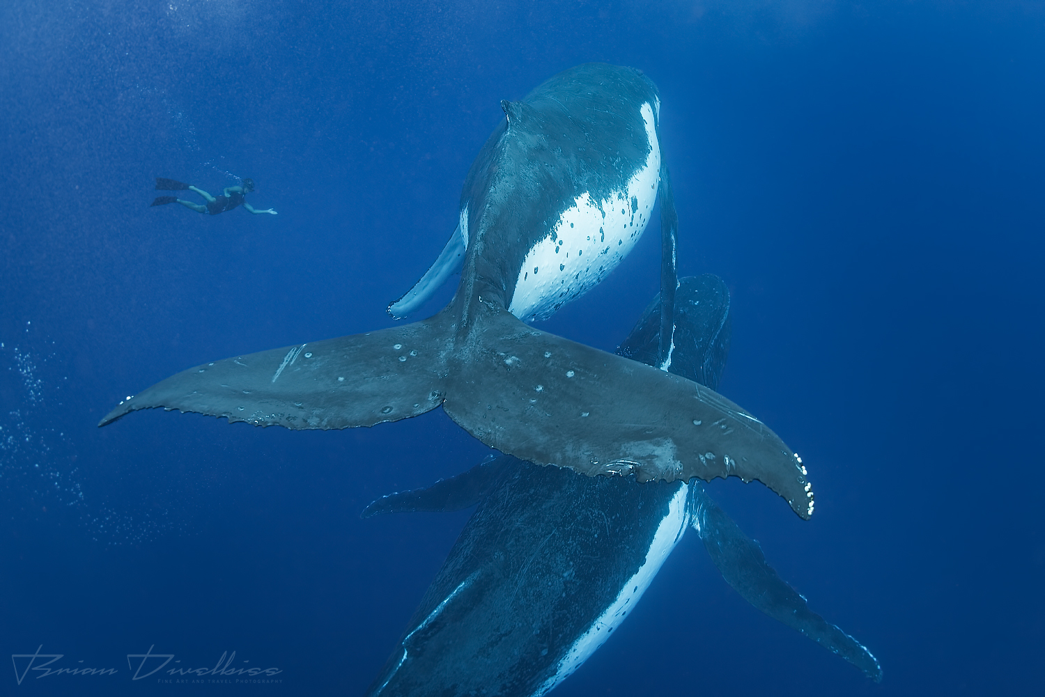 Two humpback whales viewed from behind underwater with a diver in the distance in Vava'u Tonga.