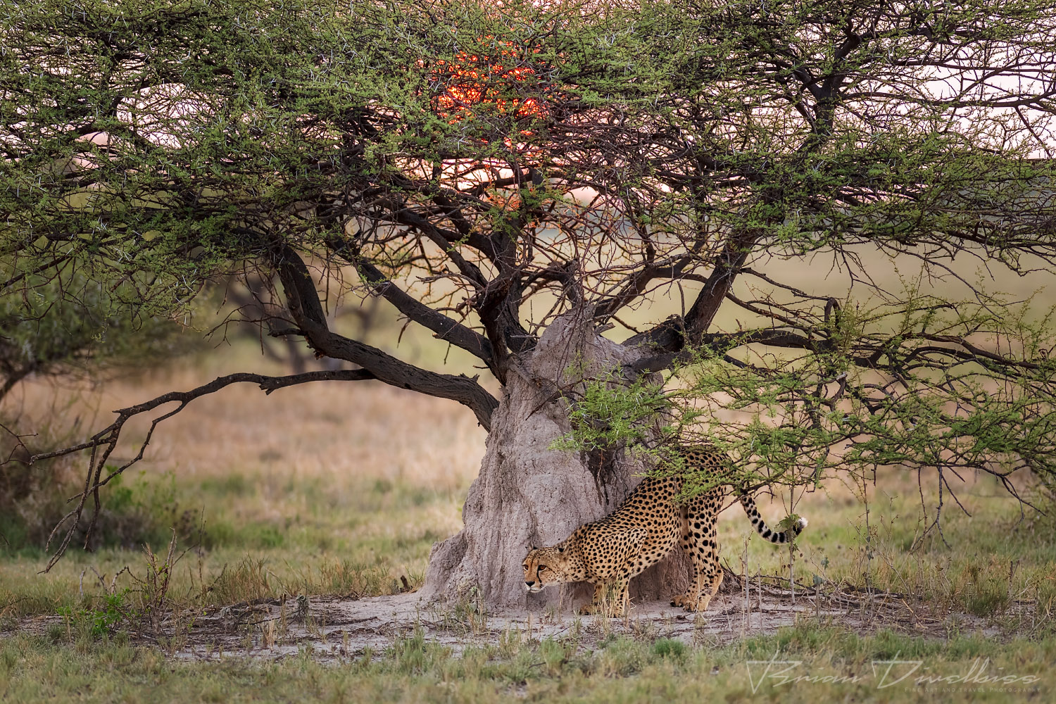 Iconic image of cheetah in front of a termite mound with the rising sun shining through the branches of an acacia tree.