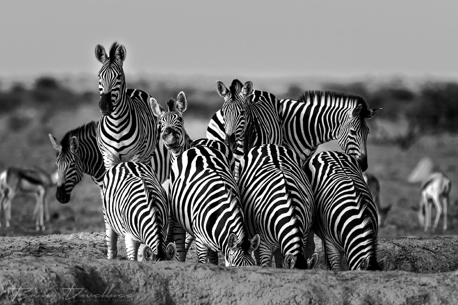 A line of four zebra drinking from the water hole while other zebra stand watch.