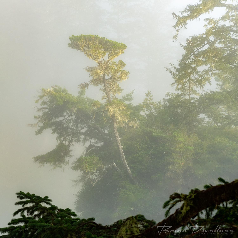 A tree shrouded by mist in Oregon.