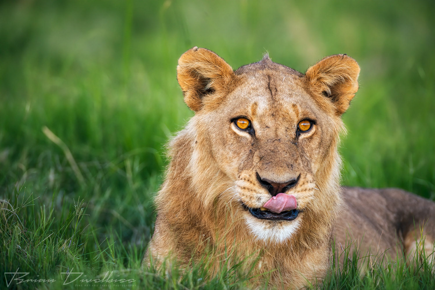 A subadult male lion licking his lips.