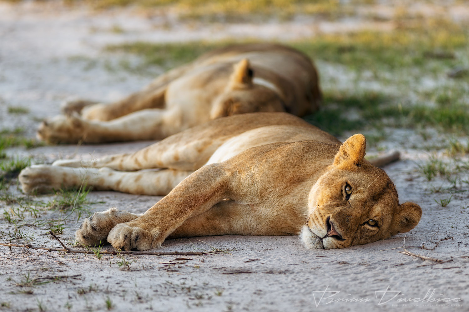 Two adult lionesses enjoying a early morning nap.